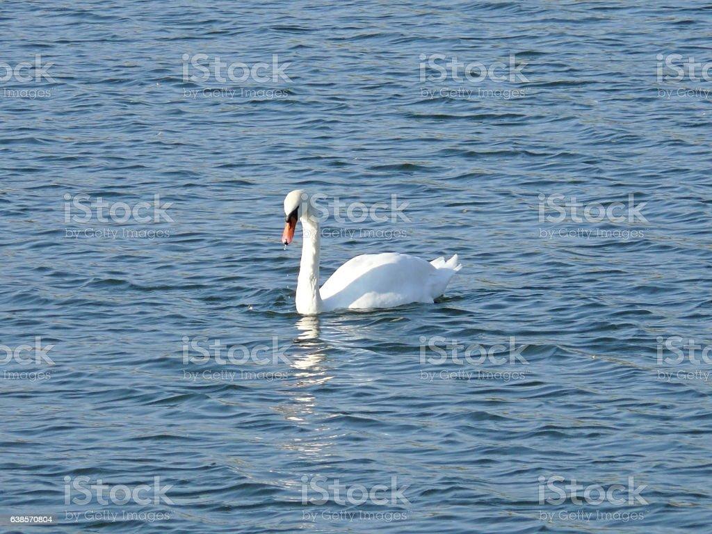 White swan on a pond stock photo