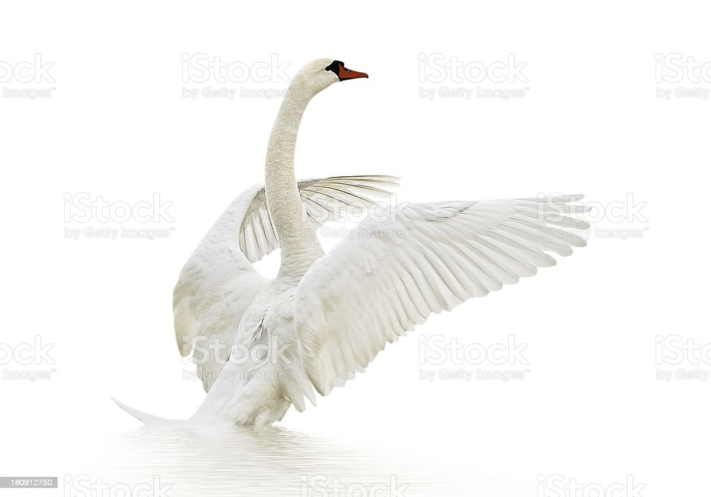 A white swan on a white background stock photo
