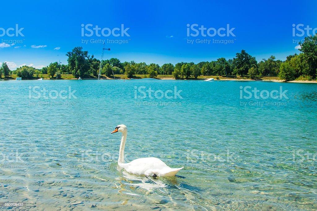 White swan on Jarun lake, Zagreb, Croatia, sunny day stock photo