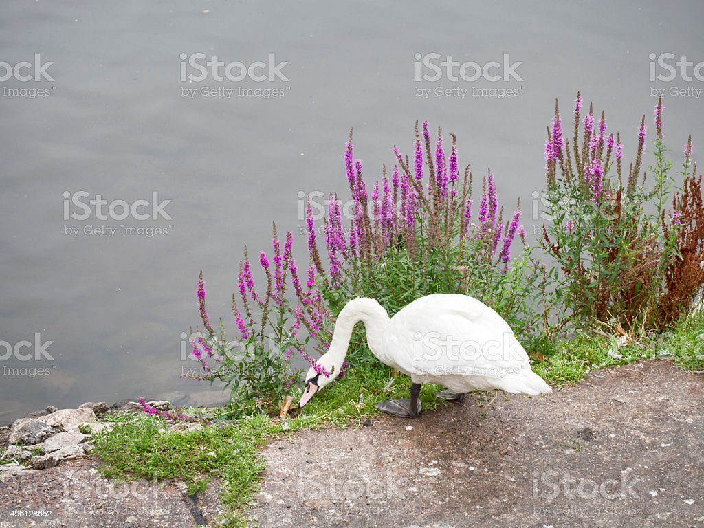 White swan on riverbank, with wild flowers and river behid. stock photo
