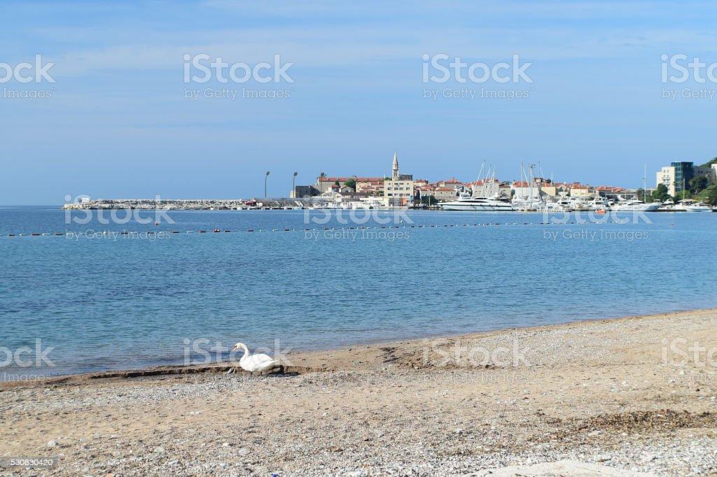 White swan on the coast stock photo