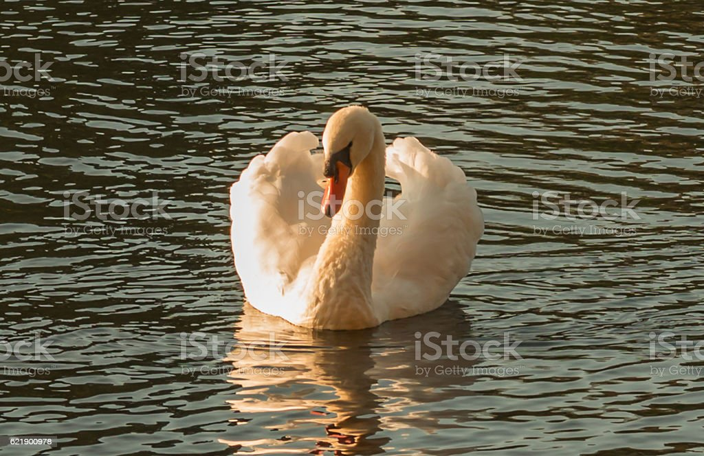White swan on the dark water of pond stock photo