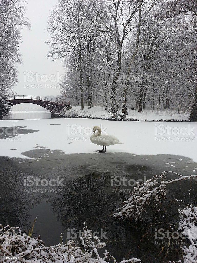 ホワイトのスワン、アイス ロイヤリティフリーストックフォト