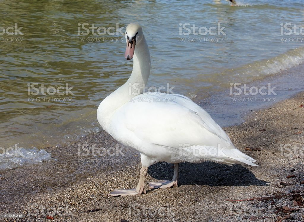 White swan on the lake beach stock photo