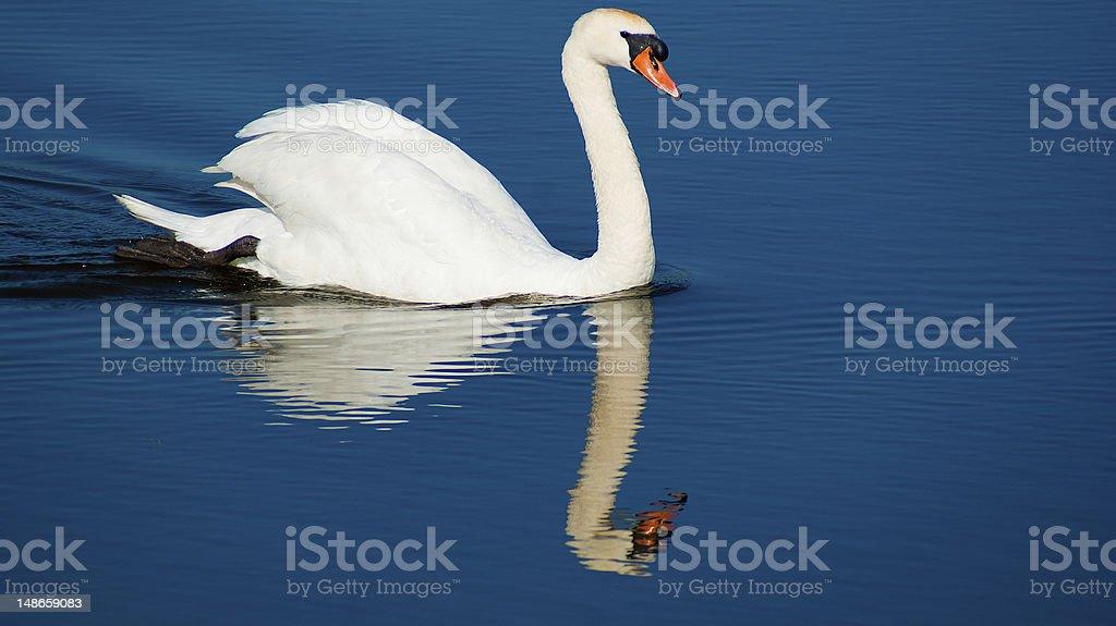 White Swan on the lake royalty-free stock photo