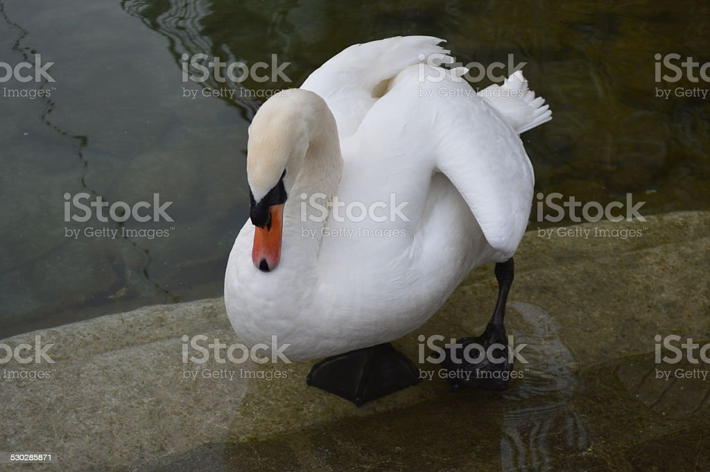 Cisne blanco sobre el lago foto de stock libre de derechos