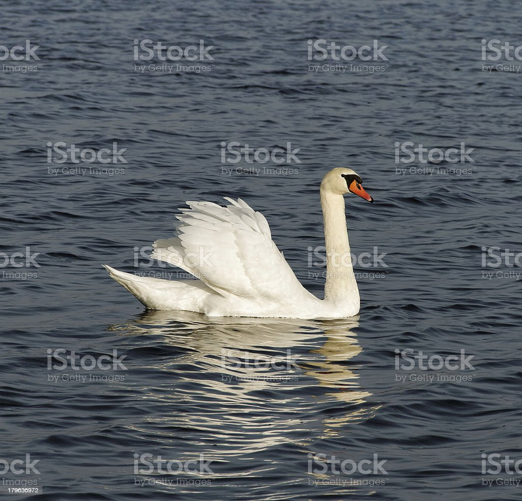 White swan on the water. royalty-free stock photo