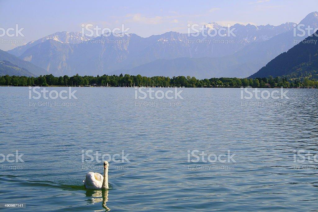 White Swan on Zeller lake in Zell Am See, Austria stock photo