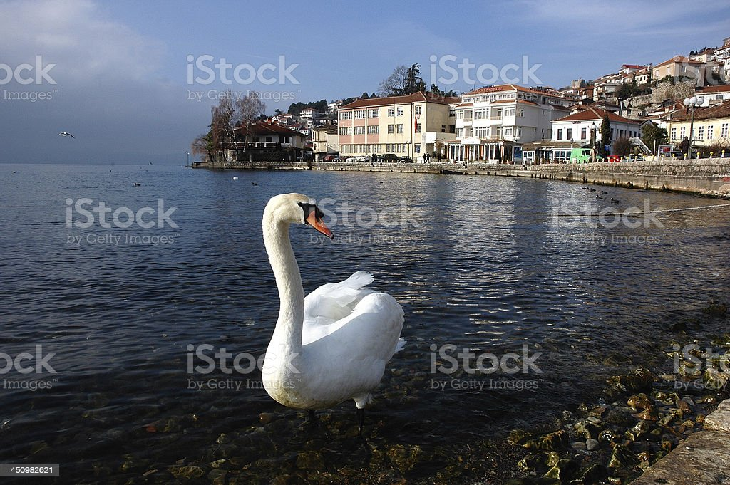 White Swan royalty-free stock photo