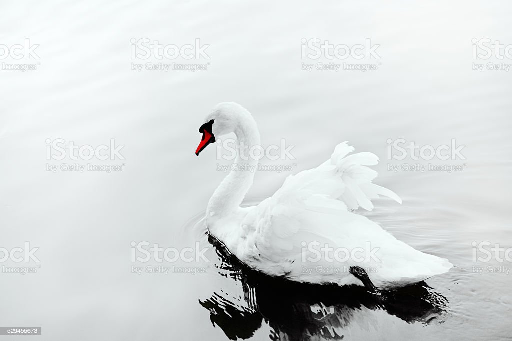 White swan royalty-free stock photo