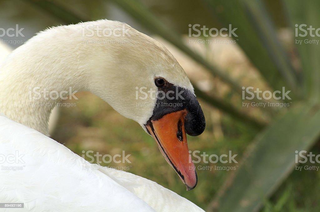 White swan. royalty-free stock photo