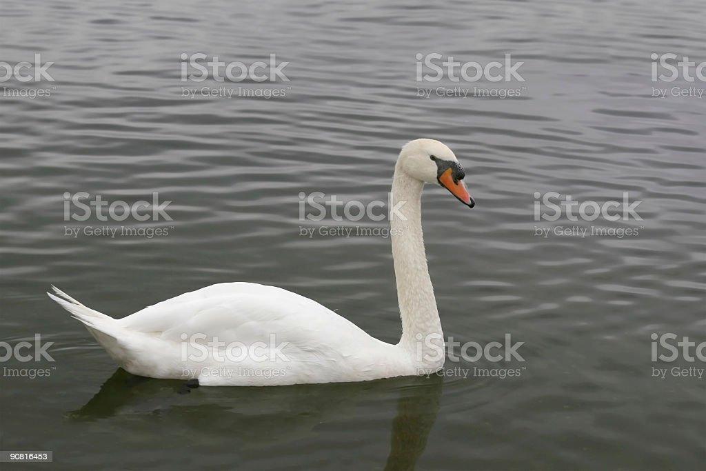 White Swan Side royalty-free stock photo
