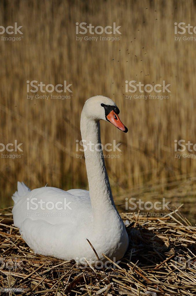 white swan sitting on a nest stock photo