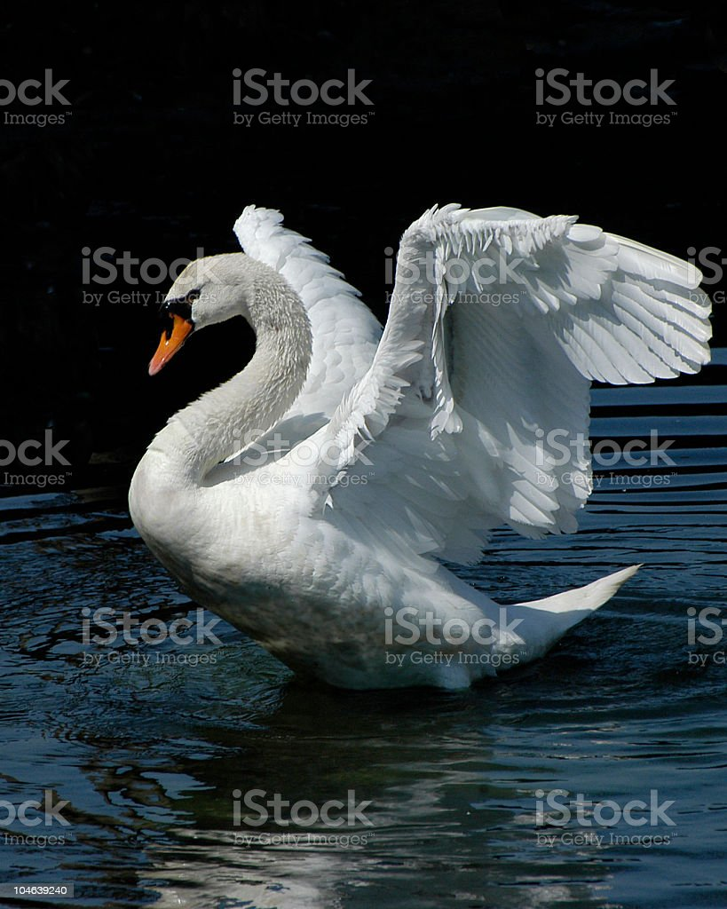 White Swan stretching out their wings stock photo