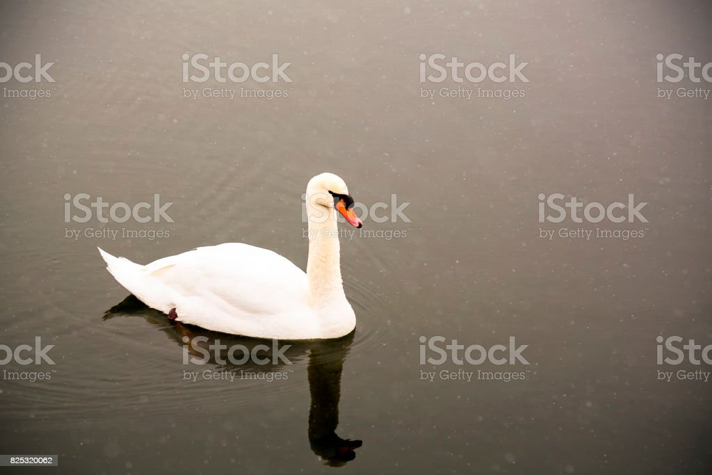 White swan swim on the lake in the city park. Proud and beautiful bird. Dark water in early spring.Toned stock photo