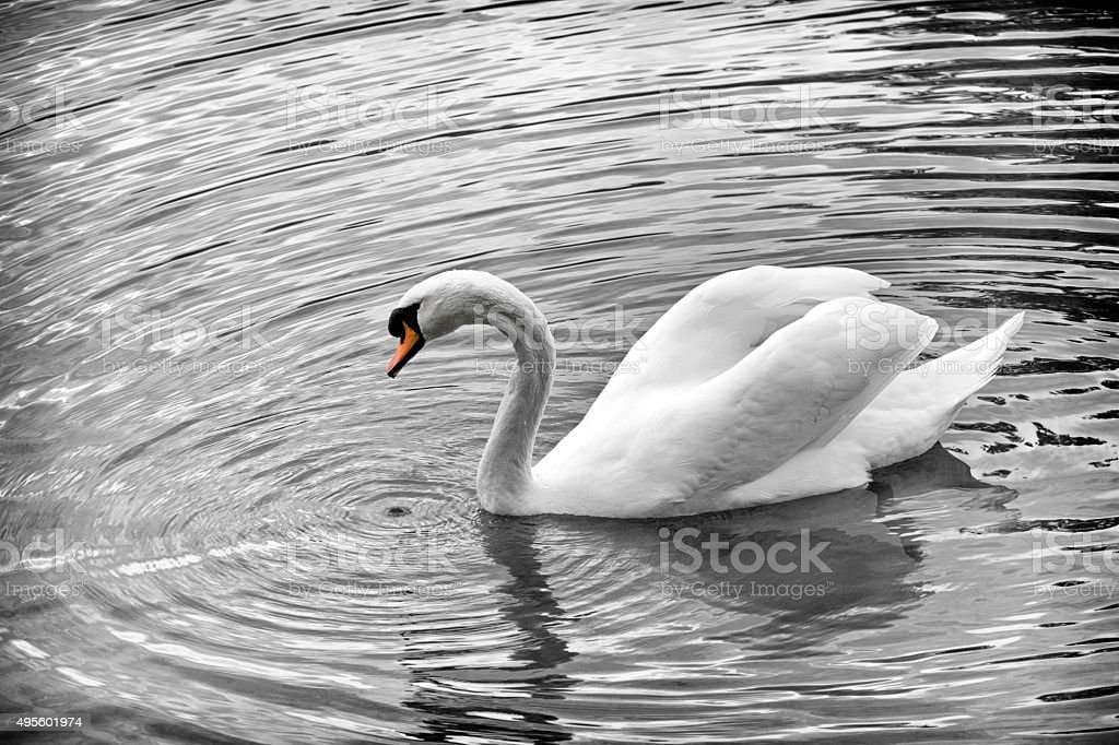 White swan swimming in pond stock photo