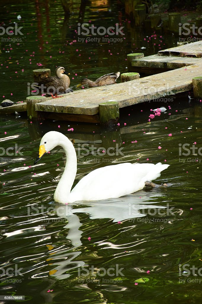 White Swan swimming in pond waters stock photo