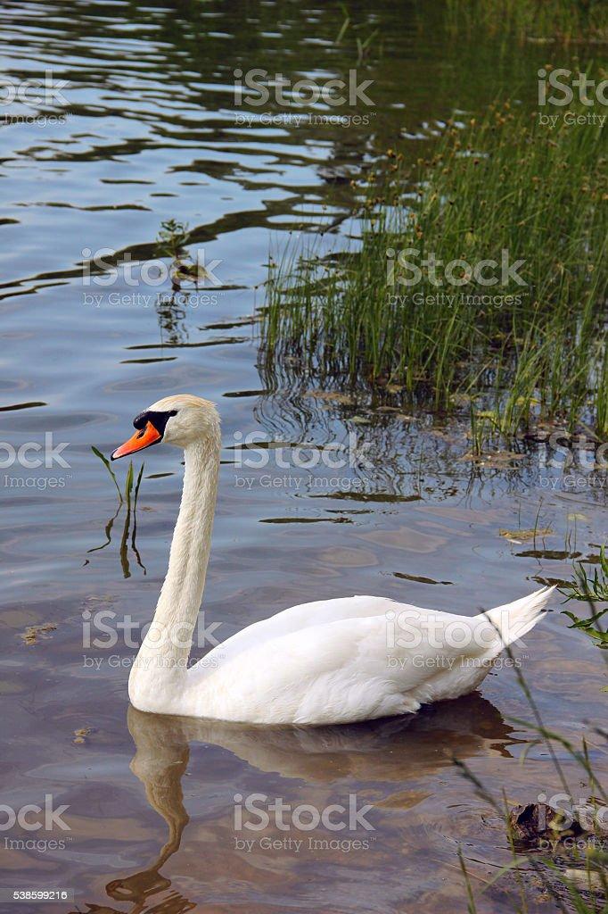 White swan swimming in the lake water stock photo