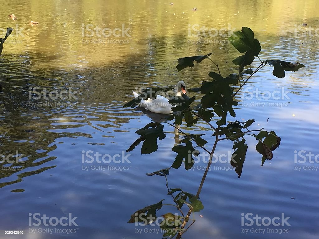 white swan swimming in the pond stock photo