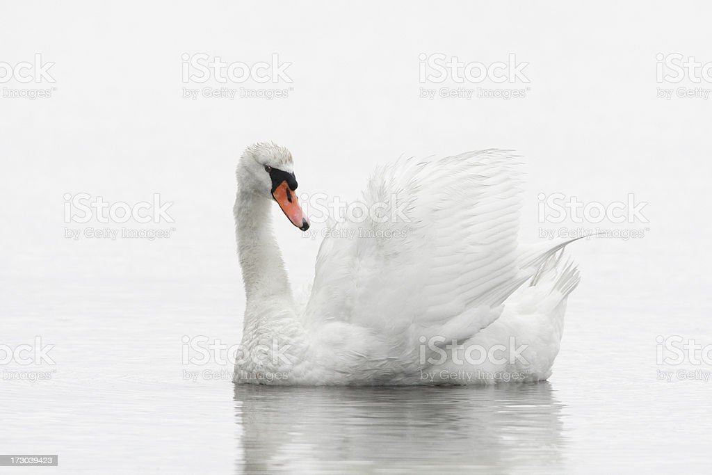 White Swan Swimming stock photo
