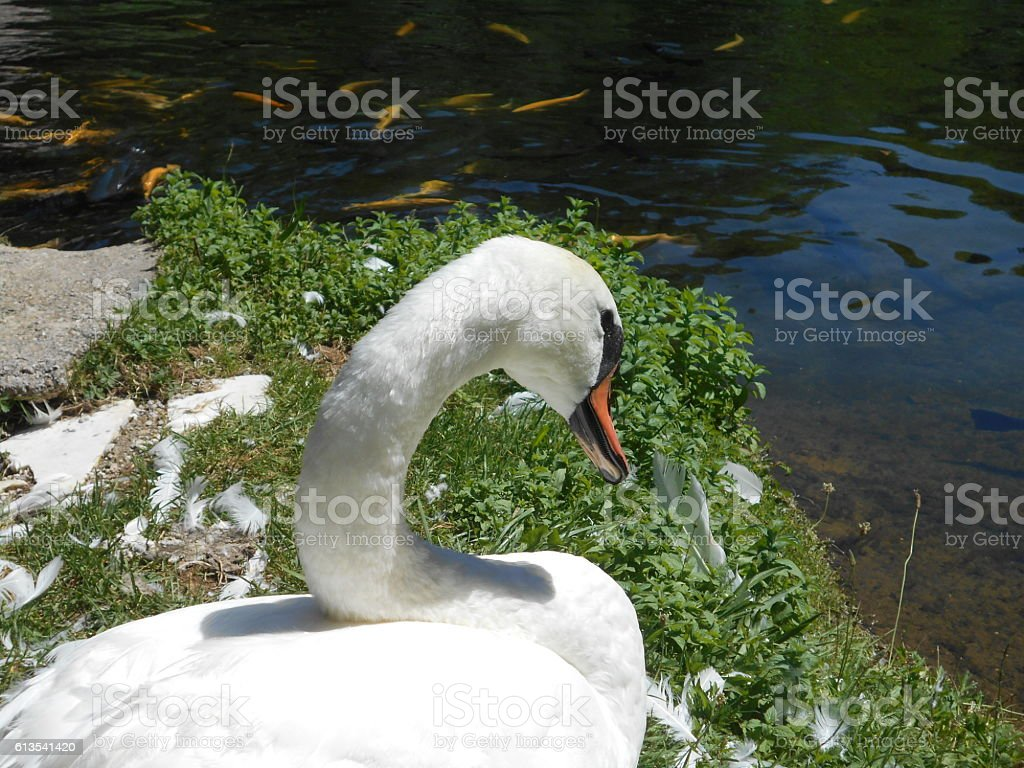 white swan that moulting by the pond full of trouts stock photo