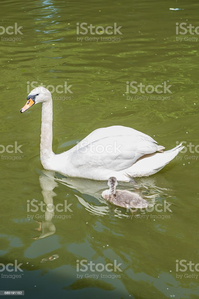 White swan with cygnet stock photo