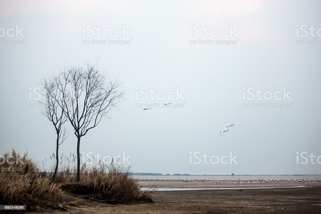 White swans flying and gathering in the swan lake by the sea stock photo
