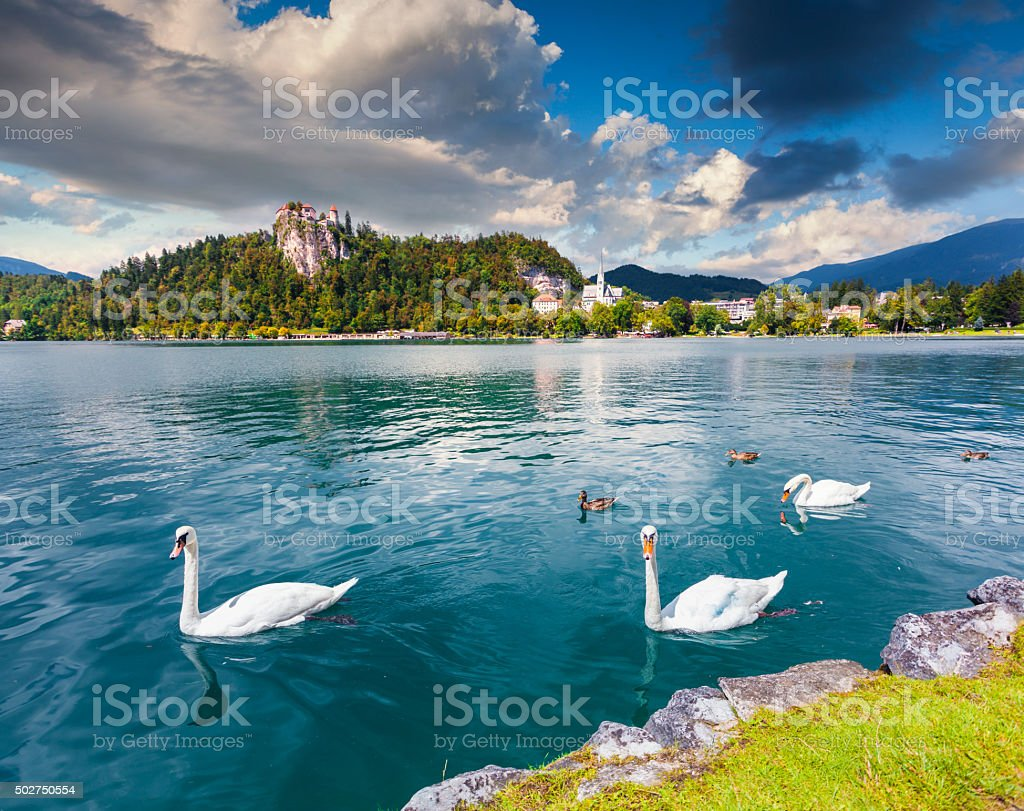 White swans in summer sunny day on Bled Lake stock photo