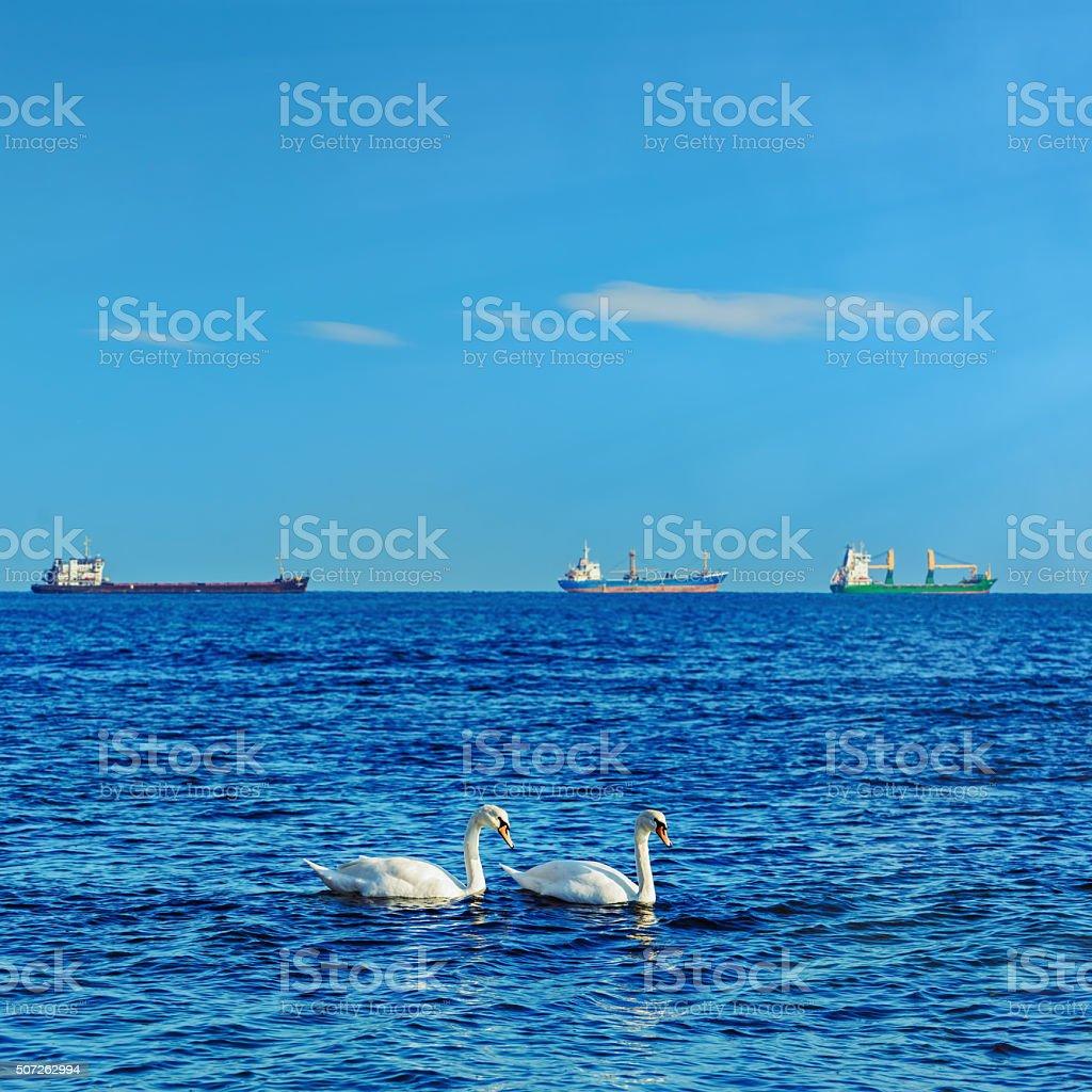 White Swans in the Black Sea stock photo