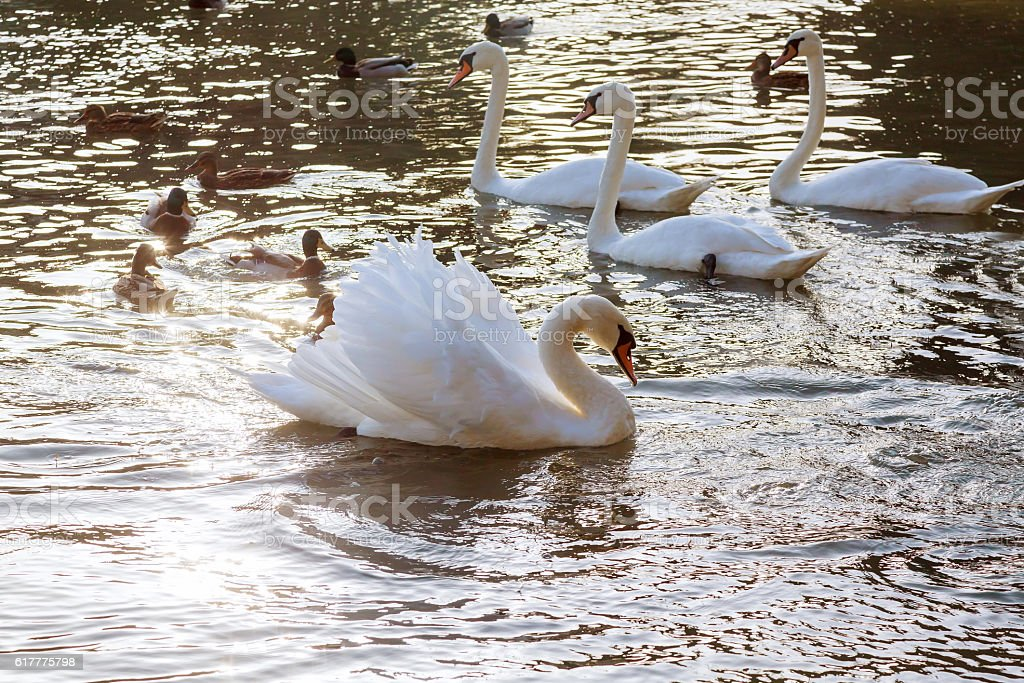 White swans in the water. stock photo