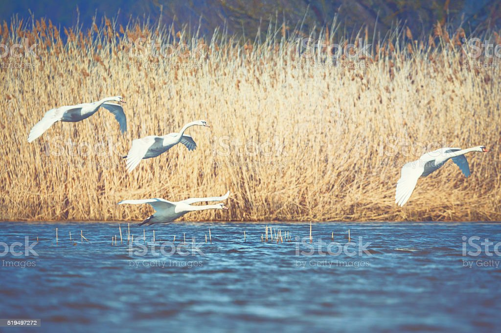 White swans stock photo