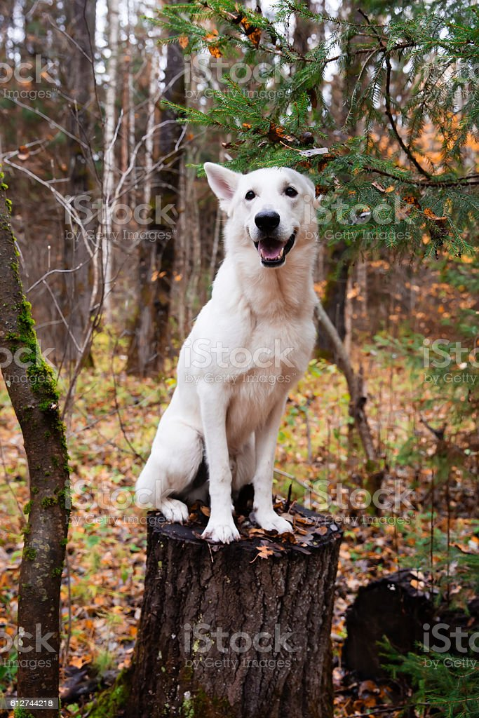 White Swiss Shepherd dog in autumn forest stock photo