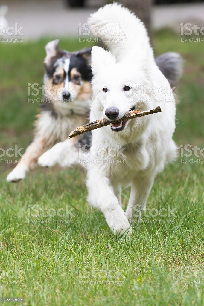 White Swiss Shepherd dog is fetching stock photo
