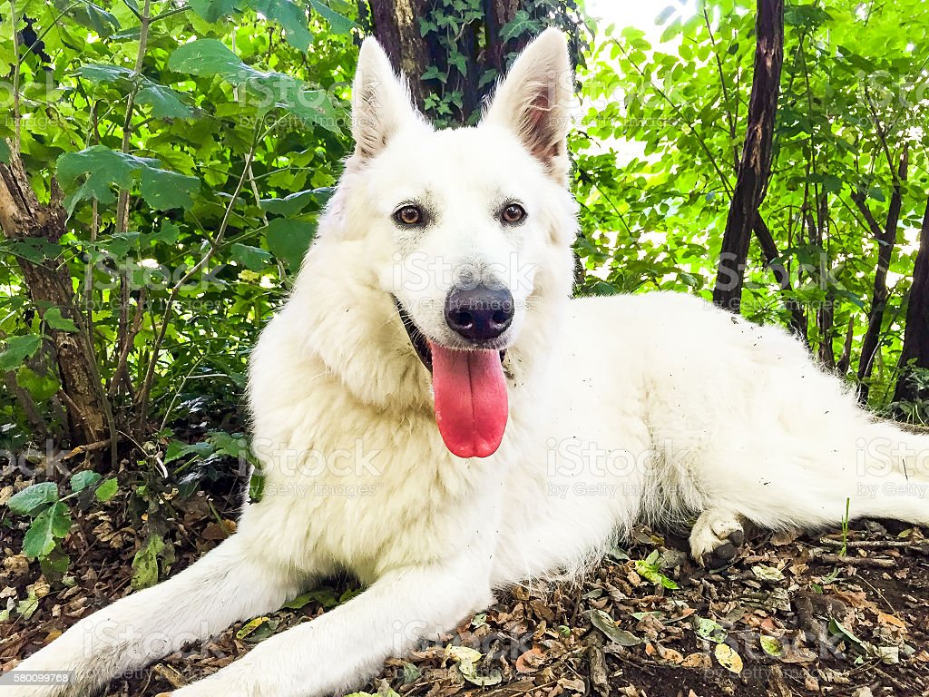 White Swiss Shepherd stock photo