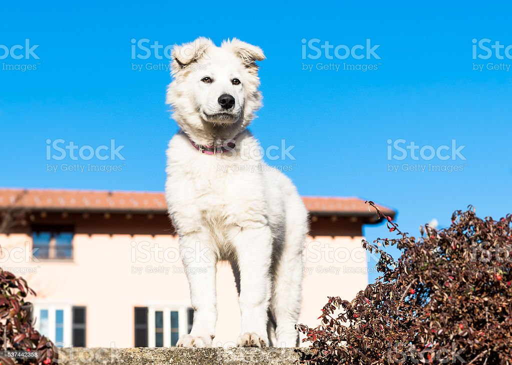 White Swiss Shepherd puppy. stock photo