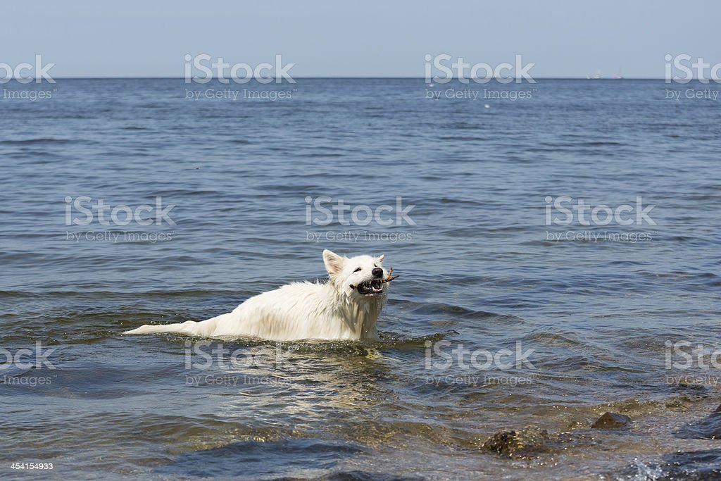 White swiss shepherd retrieving a  branch out the water royalty-free stock photo