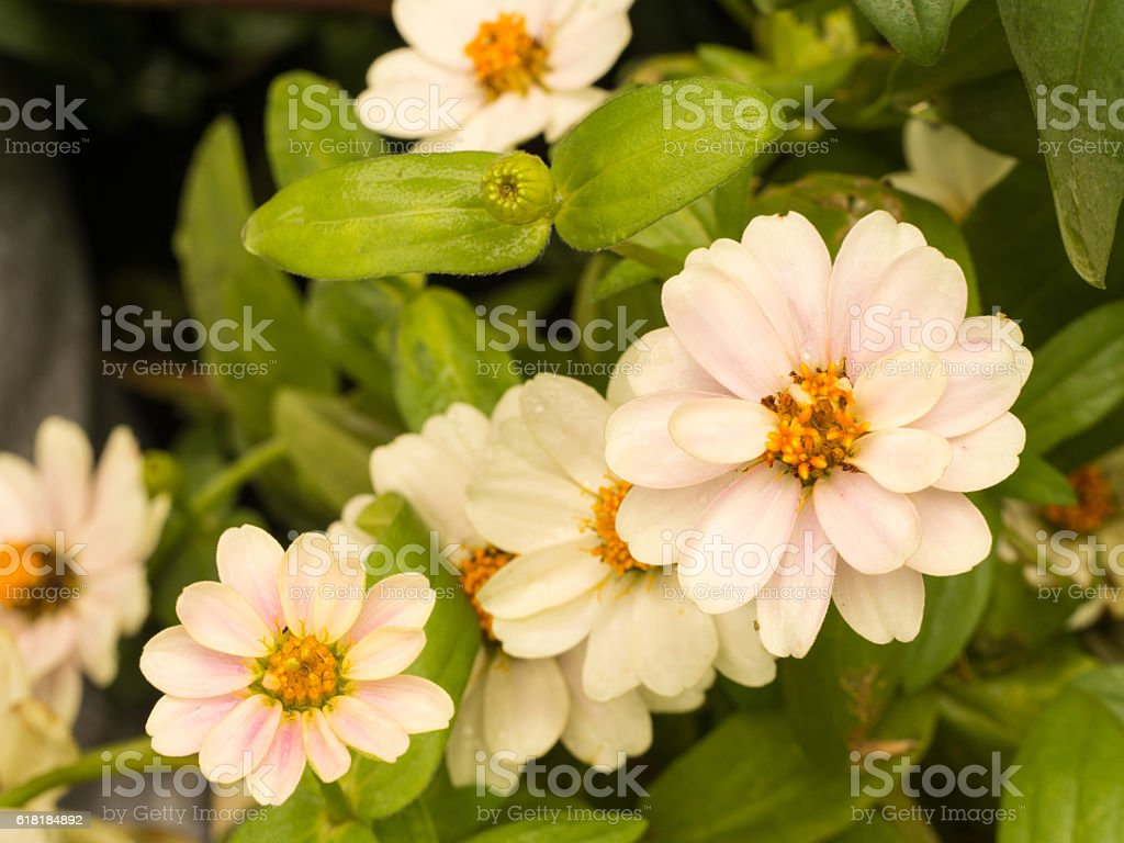 White T Pink Zinnia Flowers stock photo