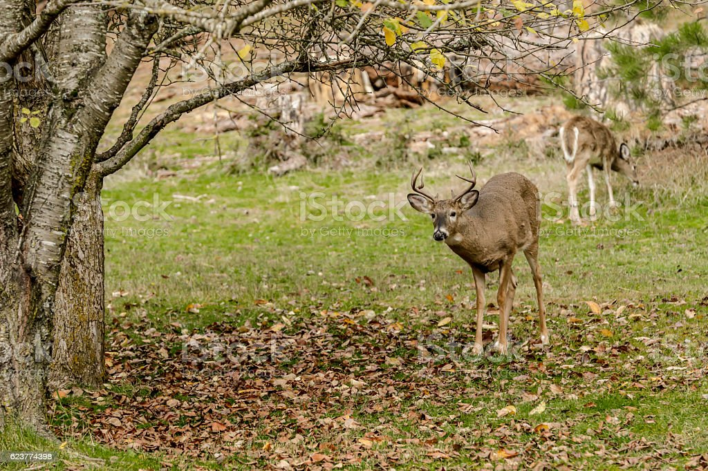 White tail buck by tree. stock photo