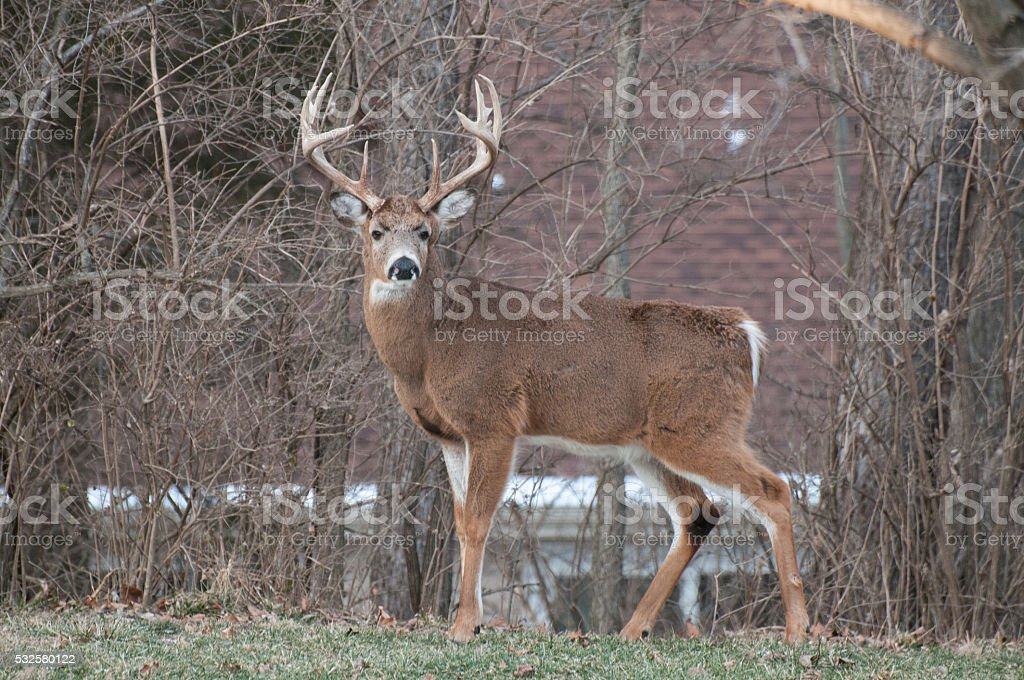 White Tail Buck in Suburbs stock photo