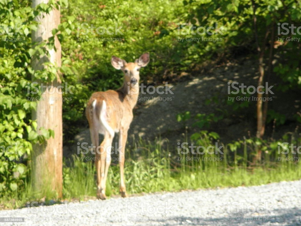 white tail deer fawn near road. stock photo