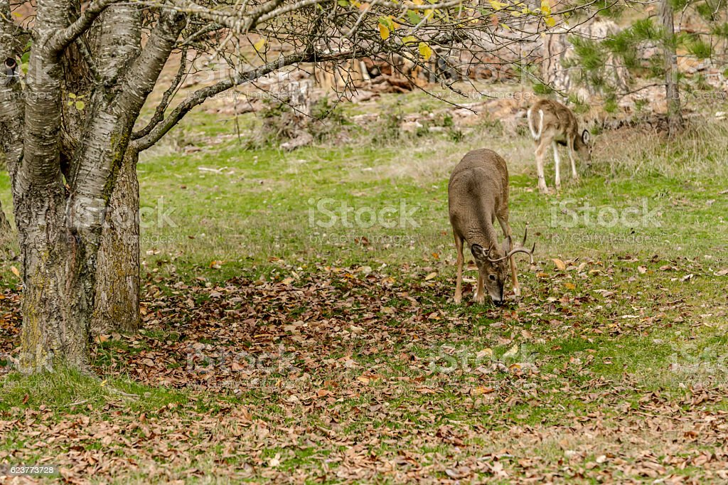 White tail deer grazing in grass. stock photo