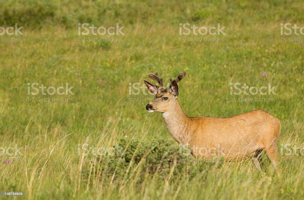 White tail deer stock photo