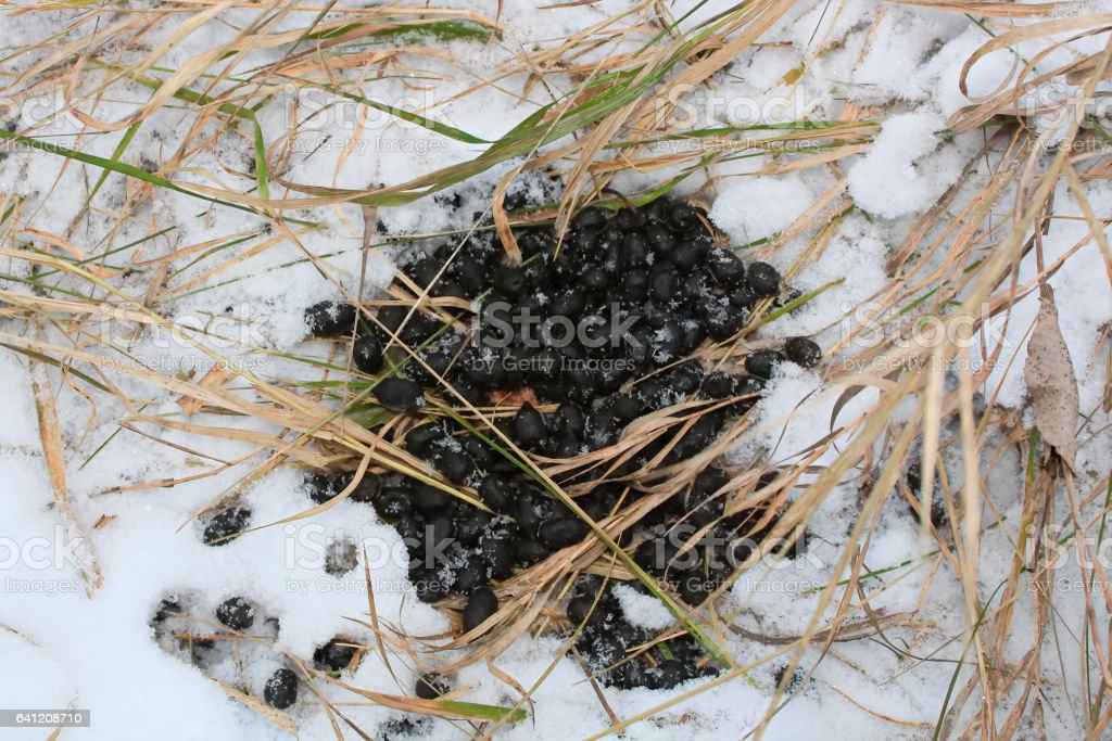 White Tail Deer Scat in the Snow stock photo