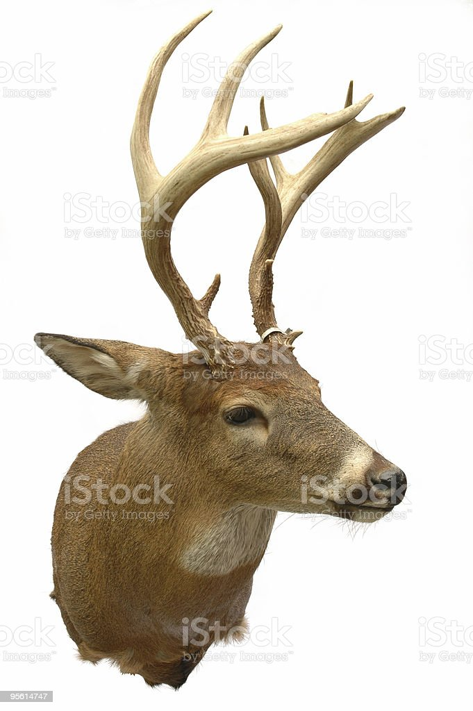 White Tail non-typical Buck w/ Clipping Path royalty-free stock photo
