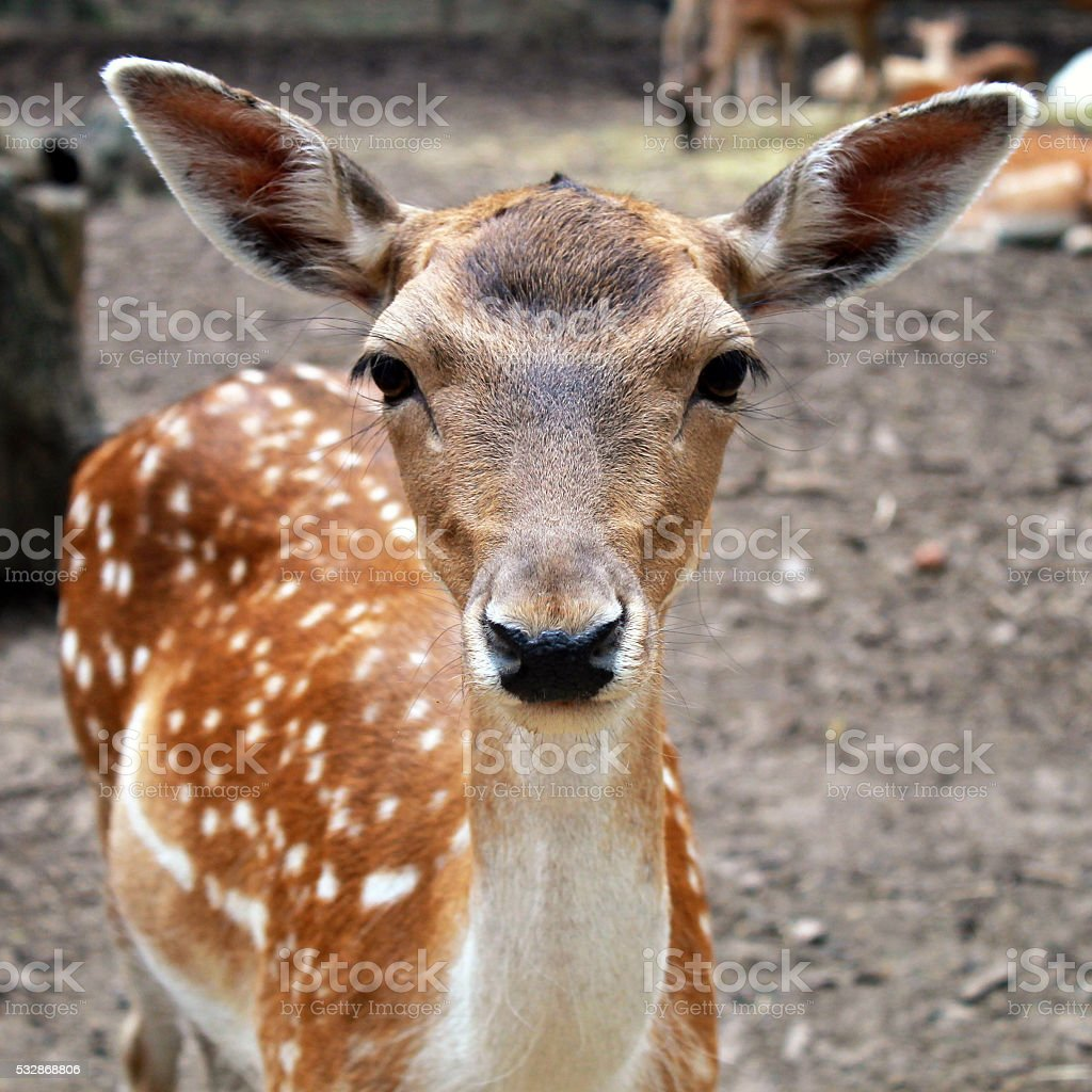 White tail young fawn with large ears stock photo