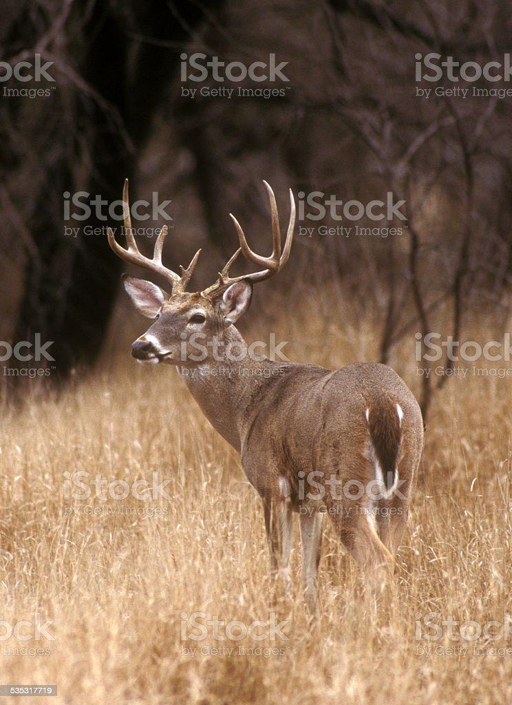 White Tailed Buck Alert for Predators stock photo