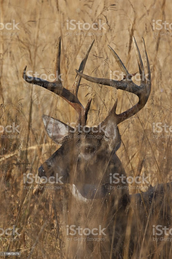 White Tailed Buck in Great Smoky Mountains National Park stock photo