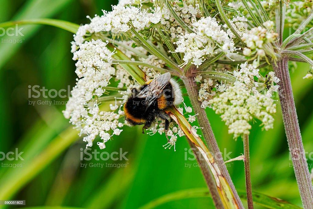 White tailed bumblebee #3 stock photo