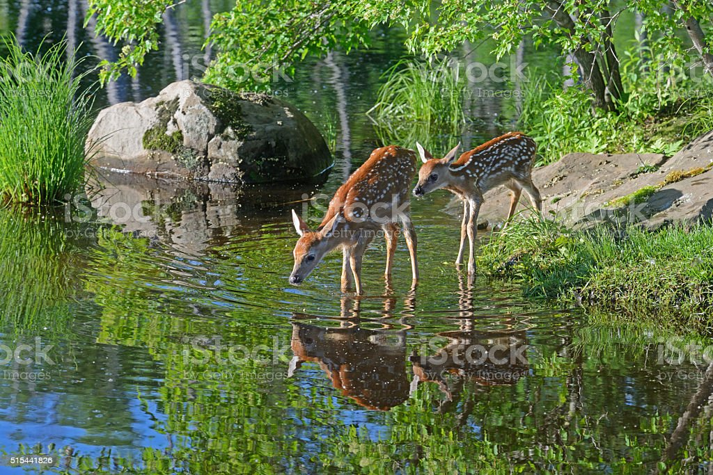 White tailed deer drinking from clear lake waters. stock photo