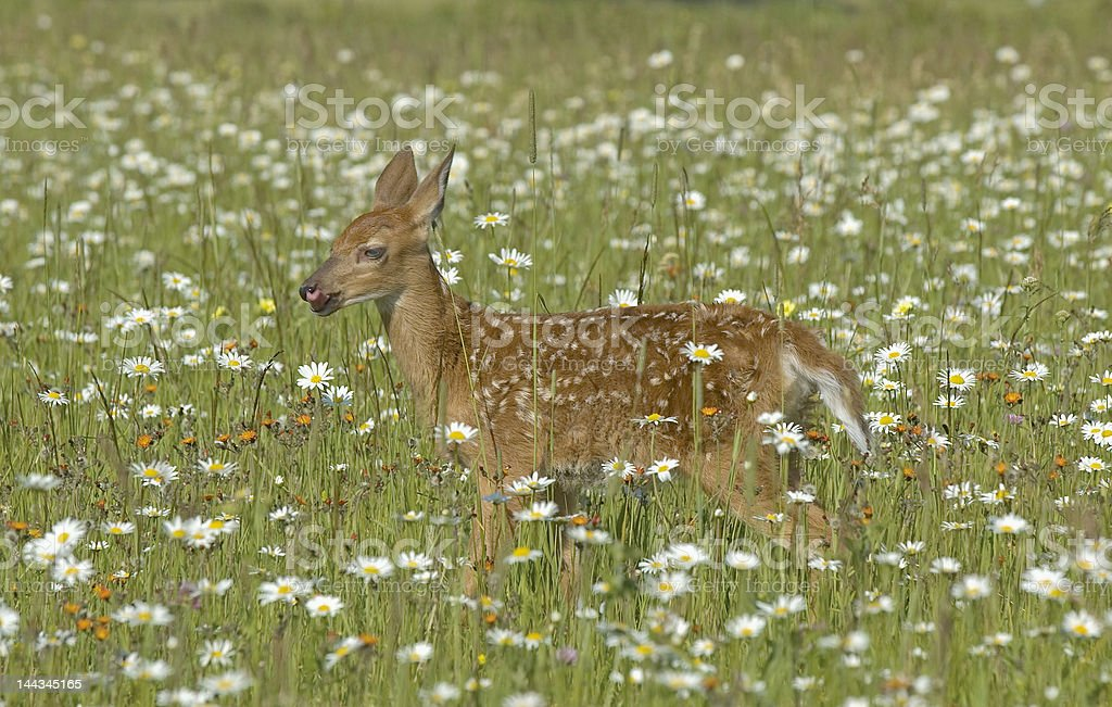 White tailed deer fawn in field of spring flowers stock photo